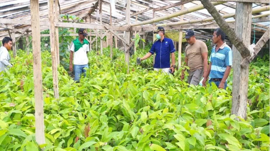 Guna Pastikan Ketersediaan dan Kualitas Bibit, Kadis Pertanian Luwu Tinjau Penangkaran Bibit Kakao
